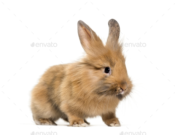 Young Lionhead rabbit, four months old standing against white background - Stock Photo - Images