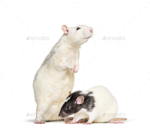 Domestic rats against white background - Stock Photo - Images
