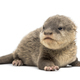 Baby Asian small-clawed otter - PhotoDune Item for Sale