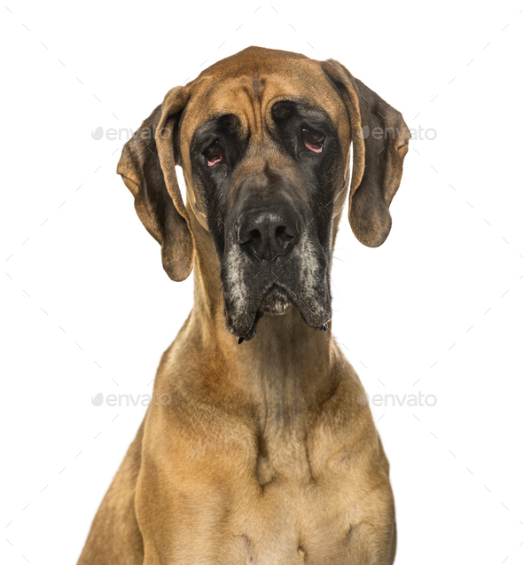 Great Dane against white background - Stock Photo - Images