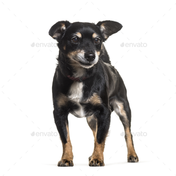 Mixed-breed dog standing against white background - Stock Photo - Images