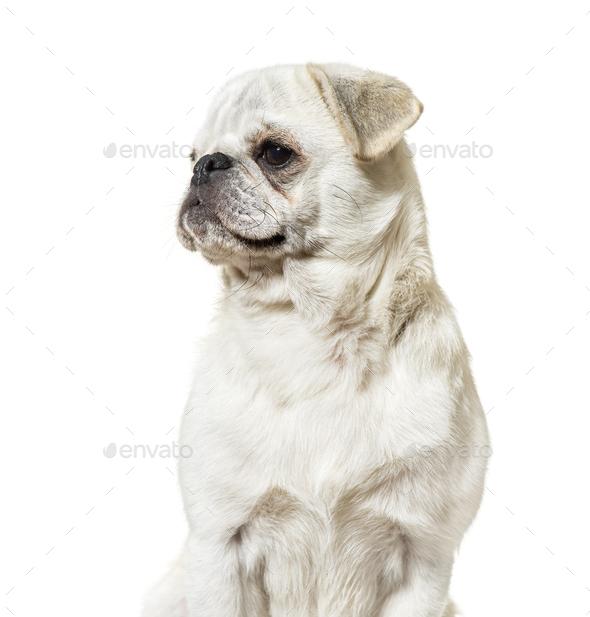 Pug sitting against white background - Stock Photo - Images