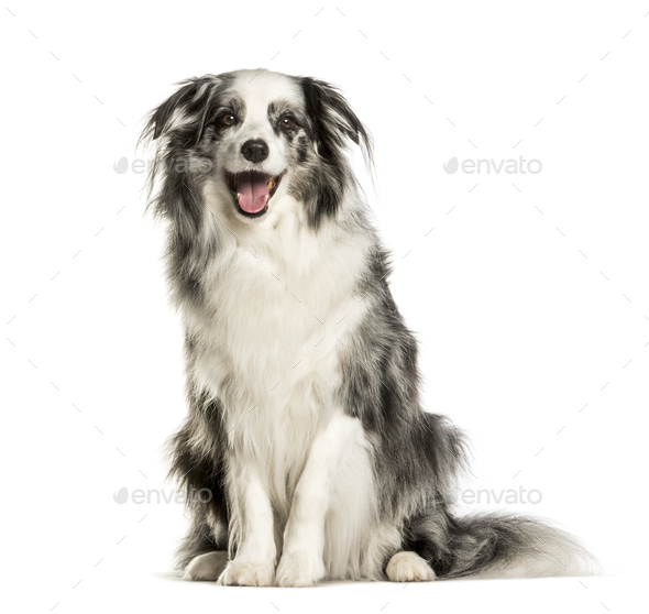 Border Collie sitting against white background - Stock Photo - Images