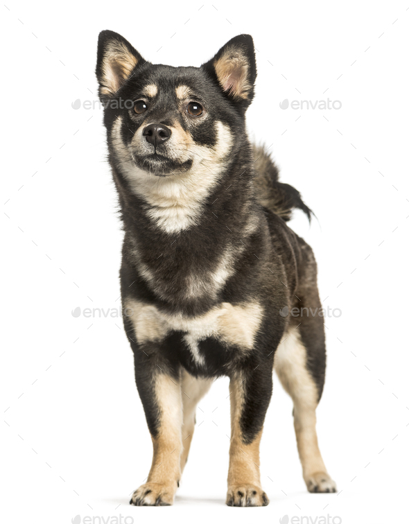 Shiba inu, 11 months, standing against white background - Stock Photo - Images