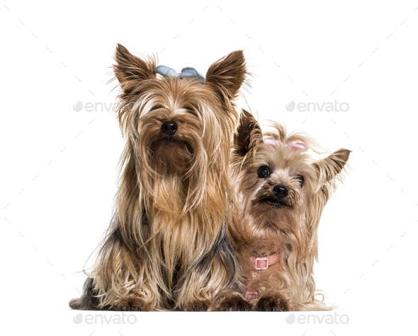 Yorkshire terriers wearing bows sitting against white background - Stock Photo - Images