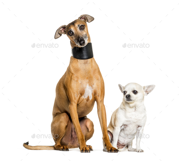 Italian Greyhound and a chihuahua sitting against white background - Stock Photo - Images