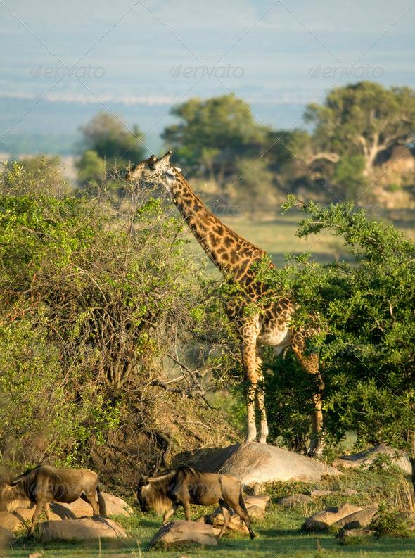 Wildebeest and giraffe in the Serengeti, Tanzania, Africa - Stock Photo - Images