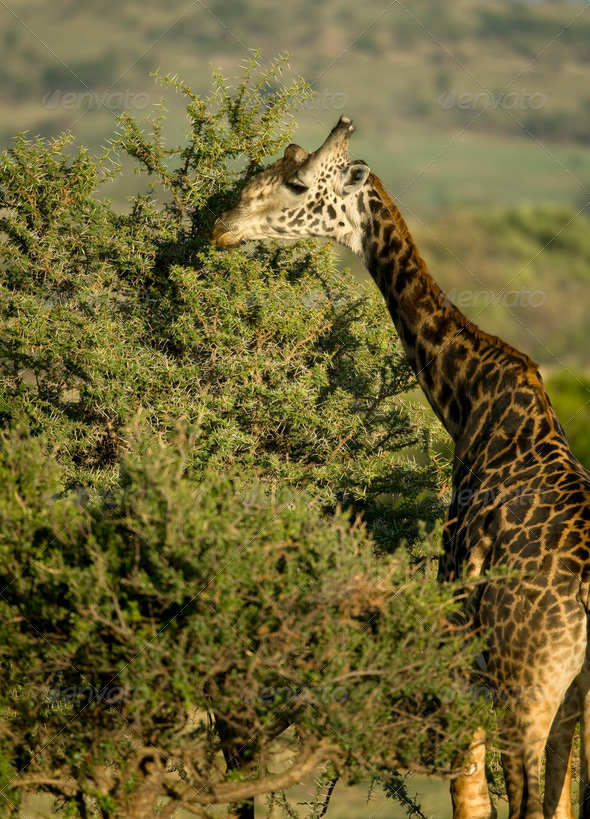 Giraffe eating in the Serengeti, Tanzania, Africa - Stock Photo - Images