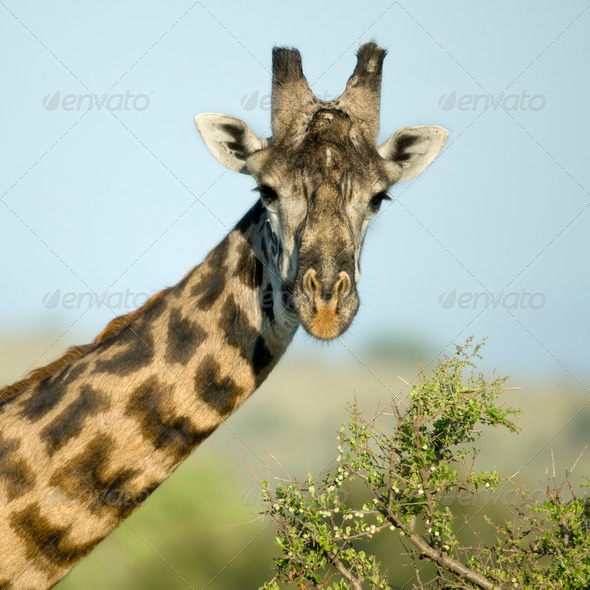 Close-up portrait of giraffe, Serengeti National Park, Serengeti, Tanzania - Stock Photo - Images