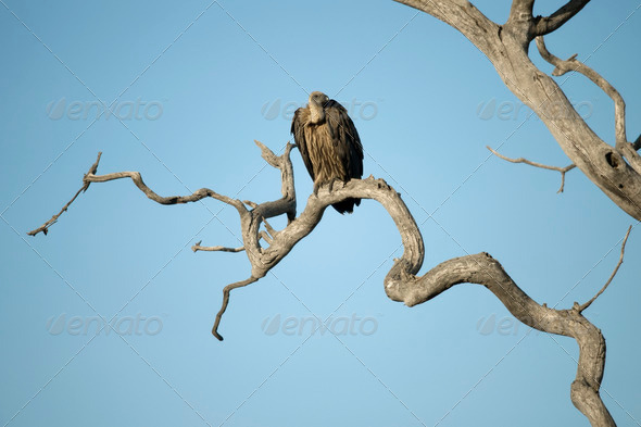 Vulture perched in tree in the Serengeti, Tanzania, Africa - Stock Photo - Images