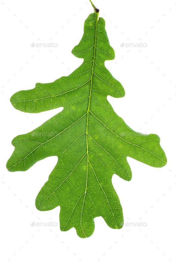 Green oak leaf - Stock Photo - Images