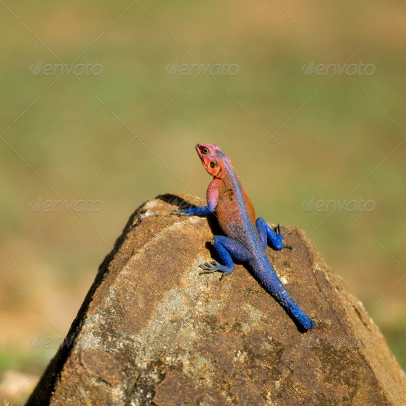 Red-headed Rock Agama or Common Agama, Agama agama - Stock Photo - Images