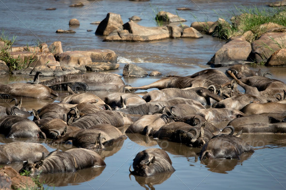 Dead wildebeest in river, Tanzania, Africa - Stock Photo - Images