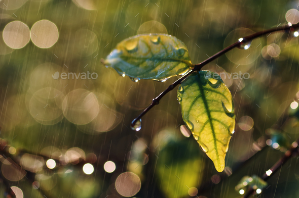 Water drops on leaf and twig on a rainy day - Stock Photo - Images