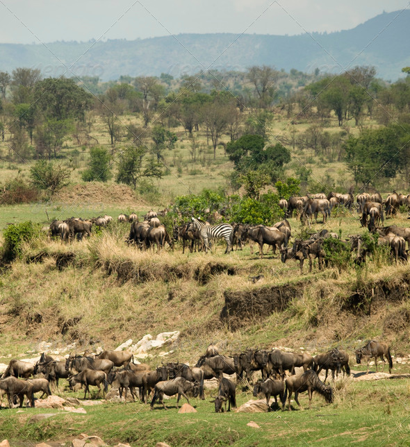 Zebras and Wildebeest in the Serengeti, Tanzania, Africa - Stock Photo - Images