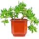 Crassula Gollum or Trumpet (Finger) Jade on white background - PhotoDune Item for Sale