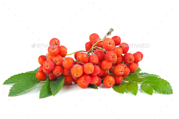 Rowan berries with leaves isolated on white background - Stock Photo - Images