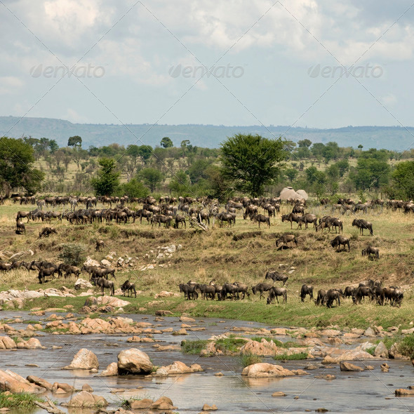 Herd of wildebeest by River Mara, Tanzania, Africa - Stock Photo - Images