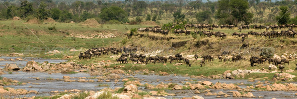 Wildebeest in the Serengeti, Tanzania, Africa - Stock Photo - Images