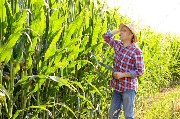 Farmer in straw hat inspecting corn with green field at backgrou - Stock Photo - Images