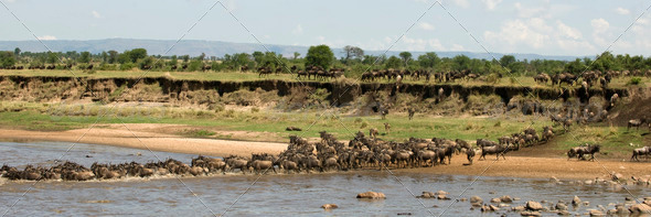 Wildebeest crossing the river in the Serengeti, Tanzania, Africa - Stock Photo - Images