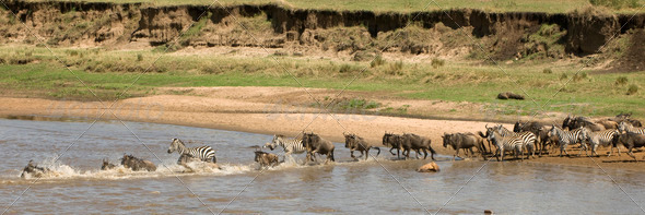 Wildebeest and zebra crossing the river in the Serengeti, Tanzania, Africa - Stock Photo - Images