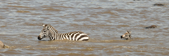 Zebra crossing river in Serengeti, Tanzania, Africa - Stock Photo - Images