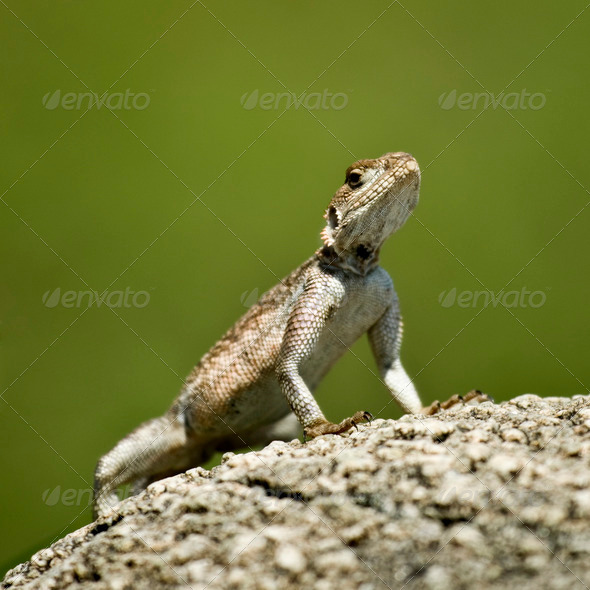 Rock Agama, Serengeti National Park, Serengeti, Tanzania - Stock Photo - Images