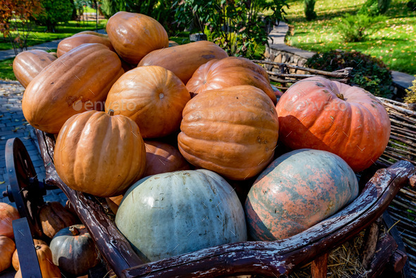 Decorative wooden cart full of pumpkins outdoors. Halloween or Thanksgiving - Stock Photo - Images
