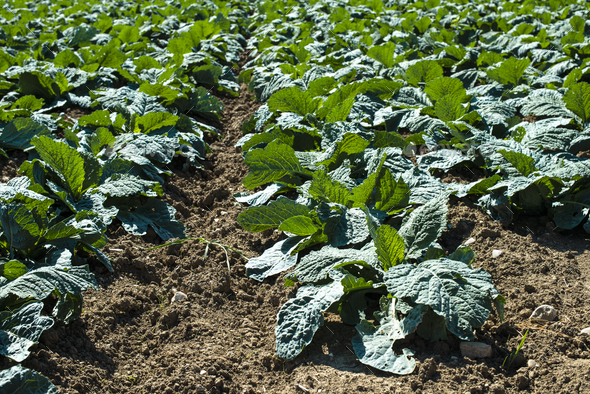 Young low artichoke plants in big industrial farm. - Stock Photo - Images