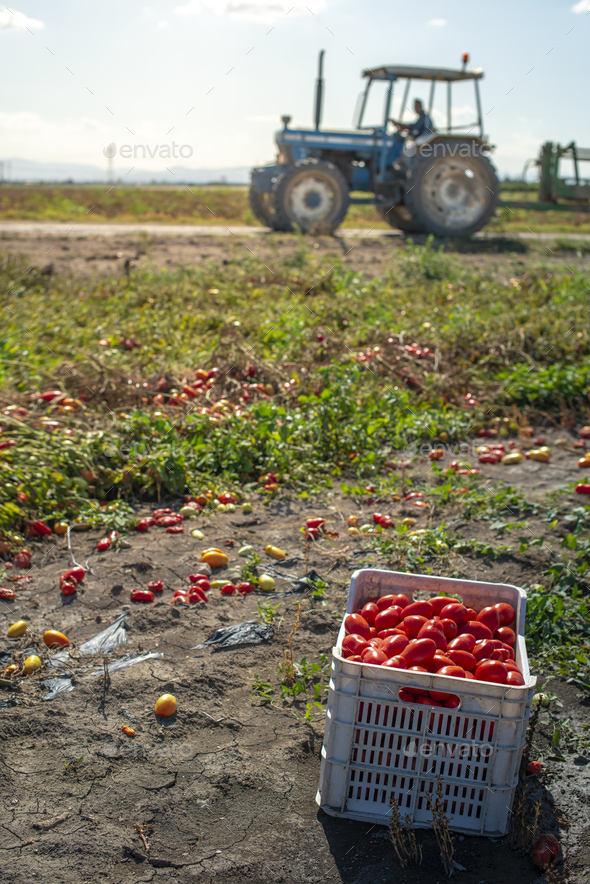 Picking tomatoes manually in crates. Tomato farm. Tomato variety - Stock Photo - Images