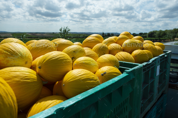 Canary melons in crate loaded on truck from the farm. - Stock Photo - Images