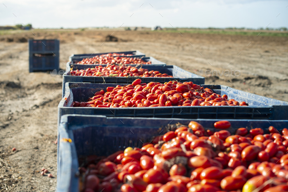Big crates with tomatoes. - Stock Photo - Images