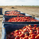 Big crates with tomatoes. - PhotoDune Item for Sale