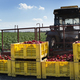 Mature big red peppers on tractor in a farm. - PhotoDune Item for Sale