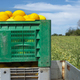 Canary melons in crate loaded on truck from the farm. - PhotoDune Item for Sale