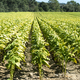 Tobacco plantation in rows. Growing tobacco leaves industrially. - PhotoDune Item for Sale