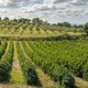 Vineyards in rows. High views from drone. Sunset backlight. - PhotoDune Item for Sale