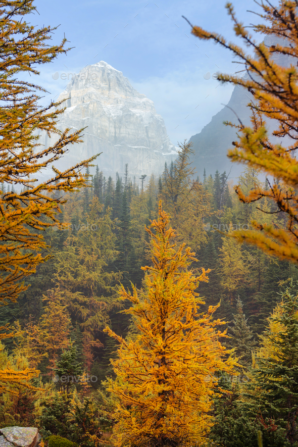Larch - Stock Photo - Images