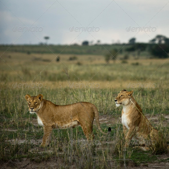 Two lioness' in savannah, Serengeti National Park, Serengeti, Tanzania - Stock Photo - Images