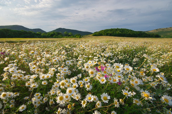 Spring daisy flowers  in meadow. - Stock Photo - Images