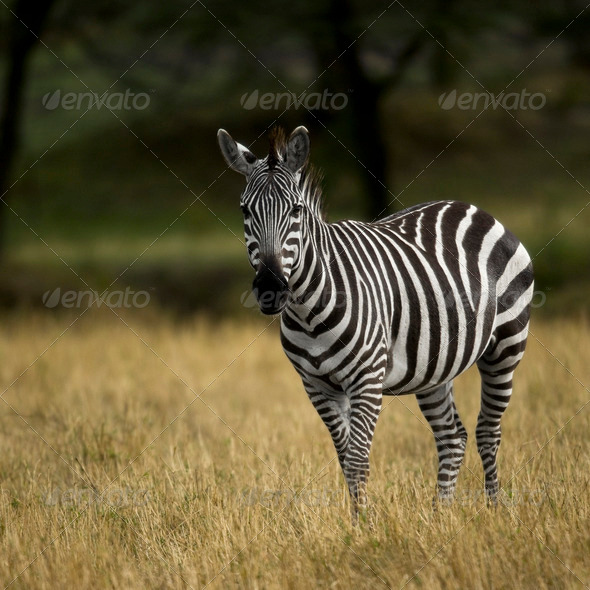 Zebra, Serengeti National Park, Serengeti, Tanzania, Africa - Stock Photo - Images