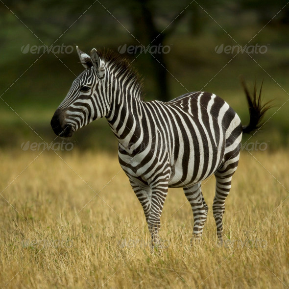 Zebra standing in field in the Serengeti, Tanzania, Africa - Stock Photo - Images