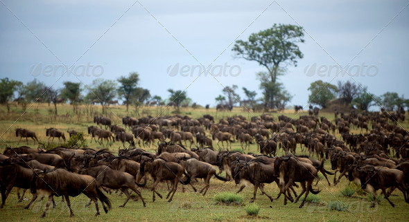 Wildebeest running, Serengeti National Park, Serengeti, Tanzania, Africa - Stock Photo - Images