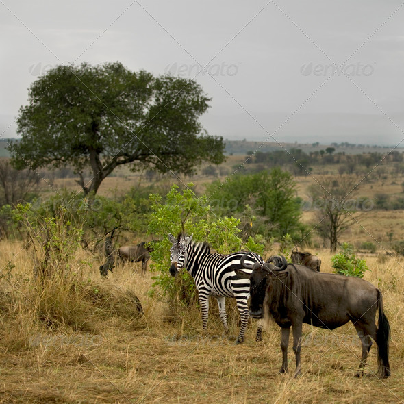 Wildebeest and zebra in the landscape, Serengeti National Park, Serengeti, Tanzania, Africa - Stock Photo - Images