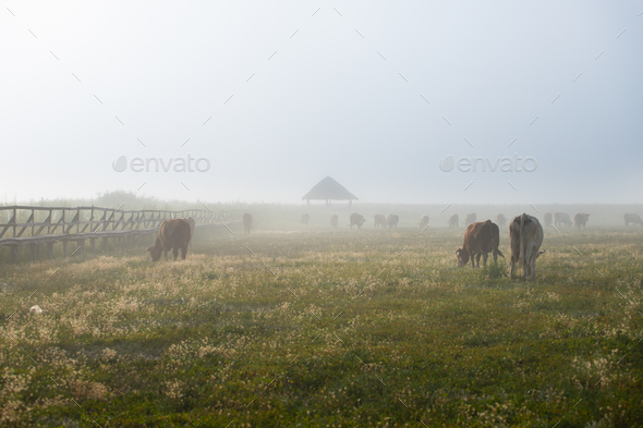 Silhouette of cow graze on a farmland. - Stock Photo - Images