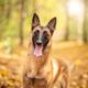 Belgian Shepherd Portrait - PhotoDune Item for Sale
