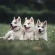 Husky Puppies - PhotoDune Item for Sale