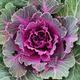 Purple ornamental kale top view - PhotoDune Item for Sale