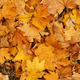 Background of autumn yellow leaves - PhotoDune Item for Sale